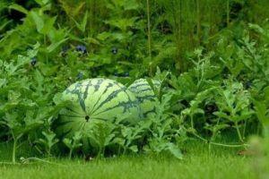 watermelon plant